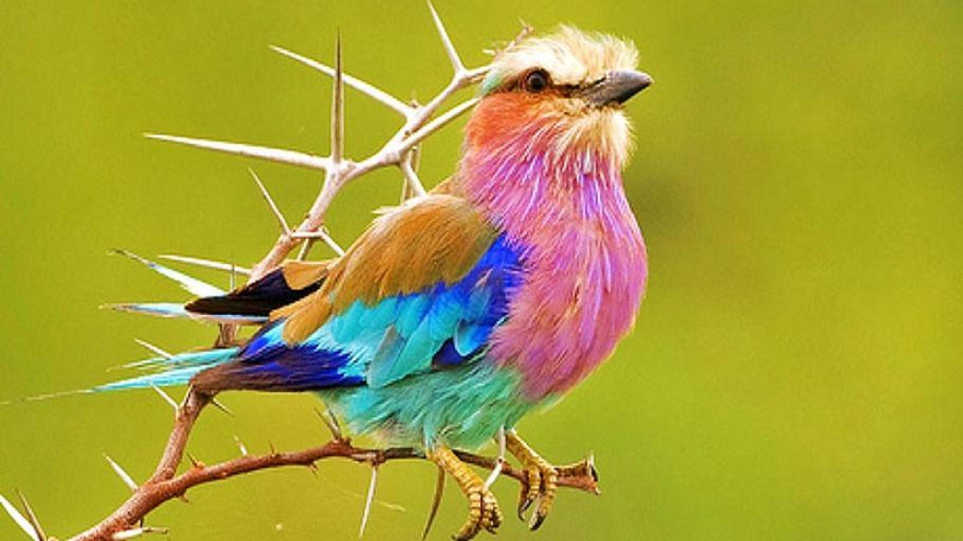 black lilac breasted roller